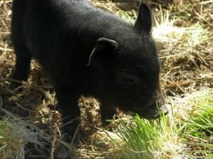 American Guinea Hog Piglet Eating Barley Fodder