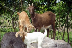 Our milking goat, Beatrice, with goat kids