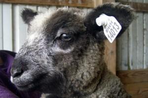 CVM Romeldale & Leicester Longwool ram lamb