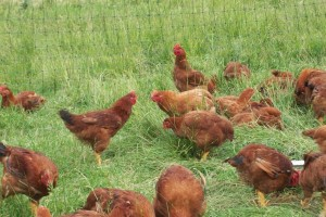 Freedom Ranger chickens hanging out in the pasture