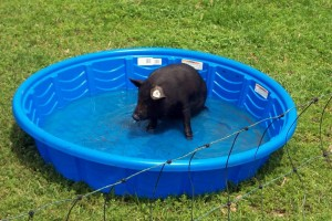 On our farm, the American Guinea Hogs get the pool...