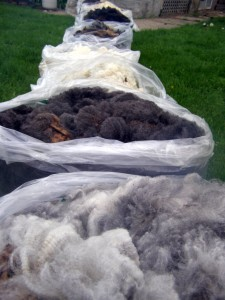 freshly shorn fleeces